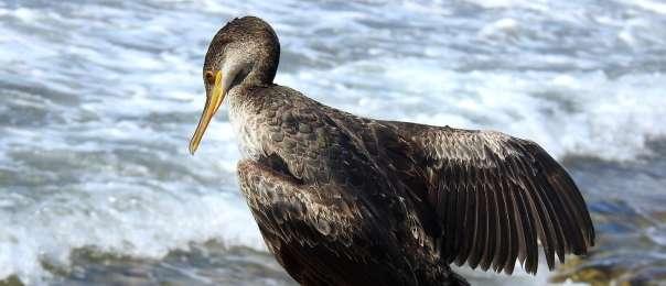 קורמורן ימי- שי קבסה רשות הטבע והגנים