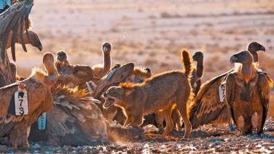 אוכלים לפי התור - התאספות ליד המזון מייצרת מפגשים בין בעלי החיים. תן חושף שיניים להרחקת הנשרים מהמזון. צילום יובל דקס