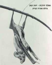עטלף חרקים יונוב קטן - צילם טוביה קוארץ