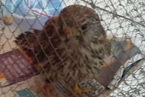 בז פצוע בכלוב - צילום עיריית אלעד
