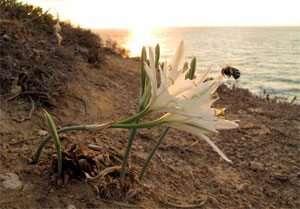 חבצלת החוף פורחת בעיקר בלילה - צילם אורי פרגמן ספיר