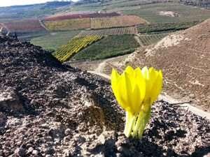 חלמוניות פורחות בהר אדמון - צילמה טליה אורון