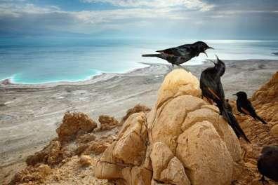 טריסטרמיות על ראש סלע במצוק מעל ים המלח. צילום: איליה שלמייב
