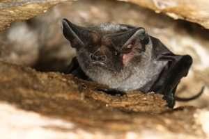 עטלף ממין אשף מצוי - צילם עזרא חדד, רשות הטבע והגנים