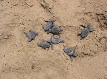 חבורות צבוני ים (אבקועים) צעירים