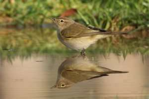 ציפור קטנה בשם עלוית חורף הגיעה אלינו מסלובקיה - צילום רעי סגלי