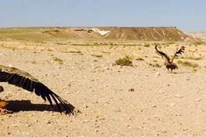 שחרור נשרים במיצד צין - צילם גל ביסמוט, רשות הטבע והגנים 19.4.2015