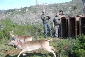 שחרור יחמורים - צילם  אהוד היילברגר, מנהל חי בר כרמל