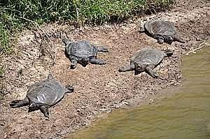 צבים רכים בנחל אלכסנדר