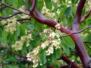 עץ קטלב - צילם דורון ניסים
