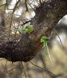 דררה מקננת בגזע עץ אלון בשמורת האלונים שבחורשת טל - צילם דודו פרו מנהל השמורה