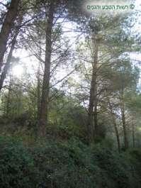 עצי אורן כמרכיב חורש ים תיכוני בגן הלאומי