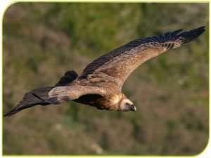 נשר בתעופה - צילם דותן רותם