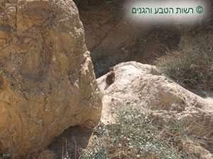 שפן סלעים בעמדת תצפית