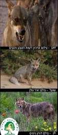 כלביים: זאב, תן ומיני השועלים