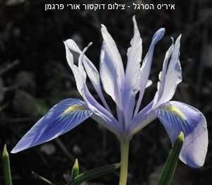 איריס הכרמל - צילום דוקטור אורי פרגמן