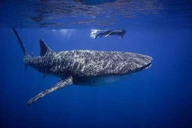 לירז לוי, אקולוגית ימית, מרחב סובב מפרץ אילת, שוחה עם כריש לוויתני באילת צילום- עומרי יוסף עומסי, פקח רטג