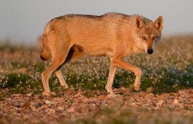 זאב אפור - ערן היימס
