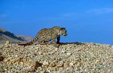 נמר צולם במדבר יהודה בשנת 1985