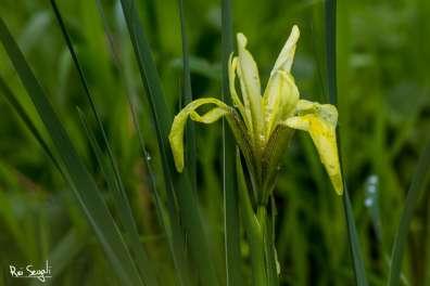 אירוס הביצות, צילום: רעי סגלי