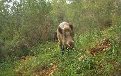 חזיר בר