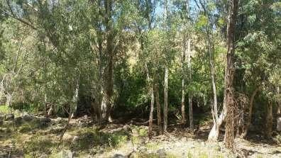 עצי אקליפטוס צפופים כמעט ללא צומח טבעי מתחתם.jpg