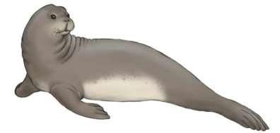 איור כלב ים נזירי ים-תיכוני