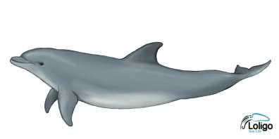 איור דולפין