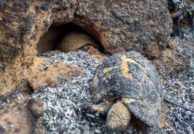 צבים שנשרפו.JPG
