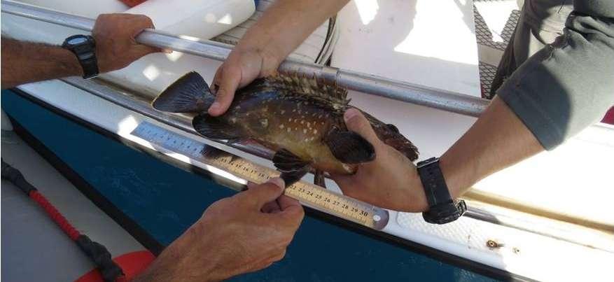 אורכי מינימום של דגים.jpg
