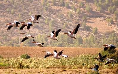Pelicans in the Hula nature reserve - Credit Yaniv Cohen