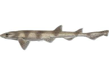 Scyliorhinus canicula גלדן כלבי .jpg