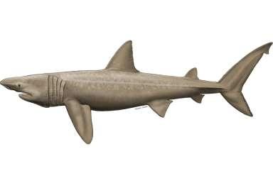 Cetorhinus maximus כריש ענק .jpg