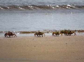 סרטני חולון (ghost crabs) מהמין Ocypode saratan, בשטח ההפקר בסמוך לגבול הירדני (צלום אסף זבולוני).jpg