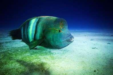 מפרץ אילת - דג מהמין יולית ים סופית כפי שהוא נראה כשהוא שוחה בחופשיות במימי מפרץ אילת (צילום עמרי יוסף עומסי.jpg