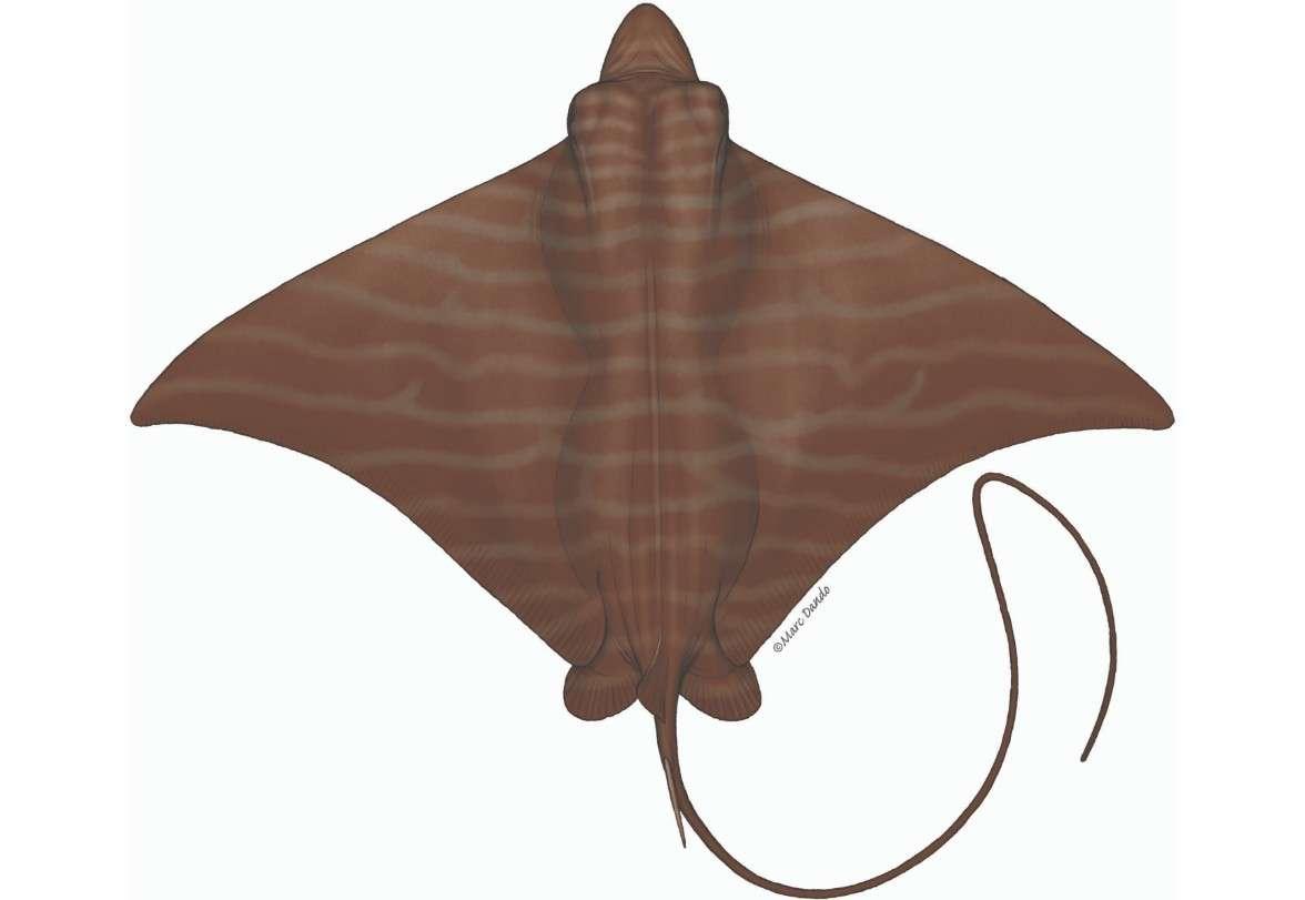 Pteromylaeus bovinus טחן פר .jpg