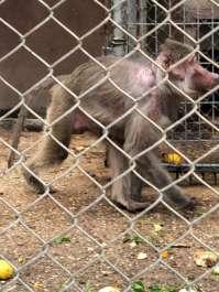 קוף בשבי JPG