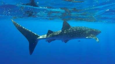 כריש לויתני - צילמה עדי ברש