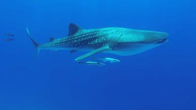 כריש לווייתני מלווה בדבקים ודגי נווט השוחים אחריו. צילום: שני אלוש