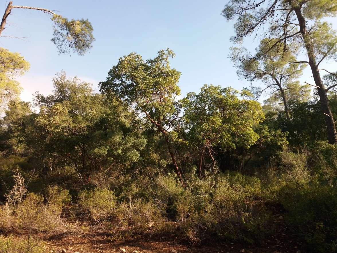 יער אום צפא - מרדכי לאש