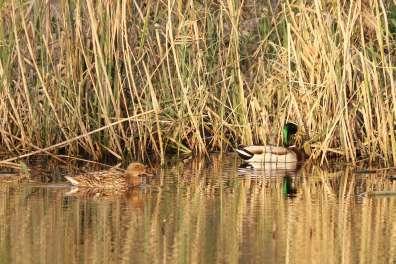 ברכייה שוחה בבריכת פארק הרצליה (צילום יניב כהן, רשות הטבע והגנים)