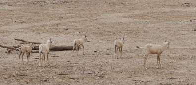 ראמים בשמורת טבע חי בר יטבתה