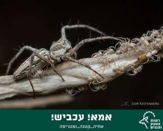 עכביש - ליאור קסטנברג