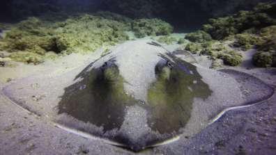 טריגון בשמורת גדור. לטריגונים גוף מעוין ובשחייתם הם נראים כאילו הם