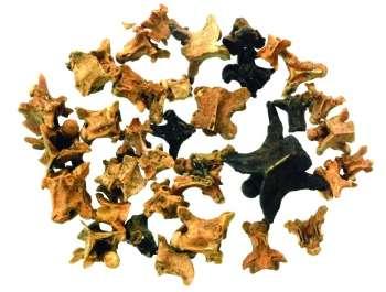 חוליות של זוחלים מטרסת אל-ואד- צילום רועי שפיר