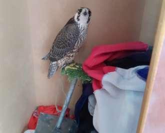 הבז המדברי הקשור שנמצא בארון בביתו של אחד המורשעים. צילום רשות הטבע והגנים