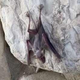 עטלף חרקים - גור של יזנוב צילמה נעמה עמיעז רטג